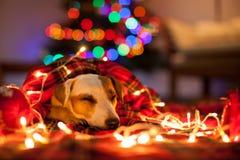 Собака спать под рождественской елкой стоковые фото