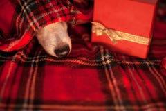 Собака спать под шотландкой стоковое фото rf