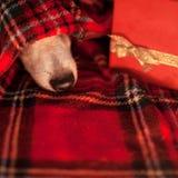 Собака спать под шотландкой стоковые фото