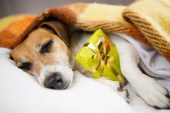 Собака спать с присутствующим подарком коробки Стоковые Изображения RF