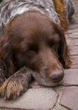 Собака спать Стоковое Изображение RF