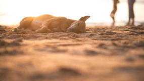 Собака спит на пляже Стоковые Фото
