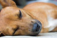 Собака спит Стоковые Фото