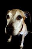 собака старая Стоковые Фото