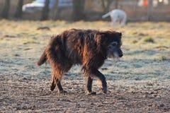 собака старая Стоковые Изображения