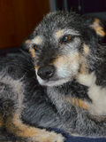 собака старая Стоковое Фото