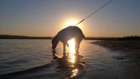 Собака стоит в воде и выпивает воду на заходе солнца движение медленное акции видеоматериалы