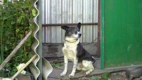 Собака сторожевого пса черно-белая смотрит в камеру и коры сидя во дворе на цепи конец вверх 4K 25 fps сток-видео