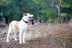 Собака стоя в древесине Стоковые Изображения RF
