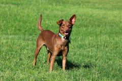 Собака стоя в траве Стоковое Изображение