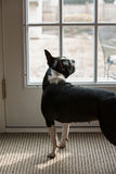 Собака стоя на двери стоковые фото