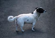 Собака стоя на мостоваой стоковые фотографии rf