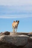 Собака стоя на утесах Стоковая Фотография