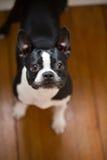 Собака стоя смотрящ вверх стоковые фото