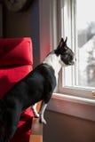 Собака стоя смотрящ вне окно стоковая фотография rf
