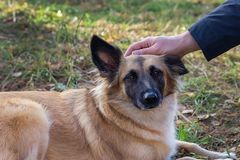 собака супоросая стоковое изображение rf
