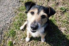 собака счастливая Улыбка Стоковая Фотография RF
