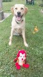 Собака счастливая для новой игрушки Стоковые Фотографии RF