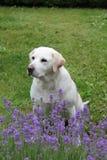 Собака с лавандой Стоковые Фотографии RF