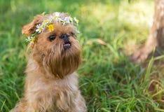 Собака с венком маргариток стоковые изображения rf