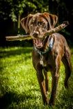 Собака с деревянной ручкой стоковая фотография
