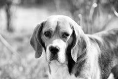 Собака с длинными ушами на лете внешнем Прогулка бигля на свежем воздухе Милый любимчик на солнечный день Товарищ или друг и стоковая фотография rf