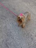 Собака с лентой Стоковые Фотографии RF