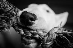 Собака с игрушкой стоковые фото