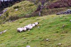Собака с овцами Стоковые Изображения RF