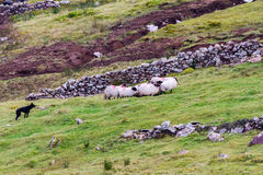 Собака с овцами Стоковое фото RF