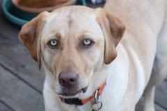Собака с ориентацией Стоковые Изображения