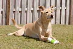 Собака с раненой лапкой стоковая фотография