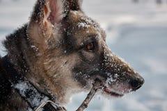 Собака с ручкой в его зубах Зимний день, конец-вверх стоковая фотография