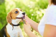 Собака с ручкой в его рте Вручает хозяйку Стоковая Фотография RF