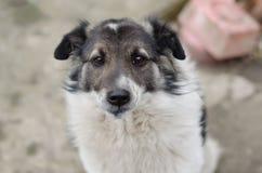 Собака с унылыми глазами стоковые фотографии rf