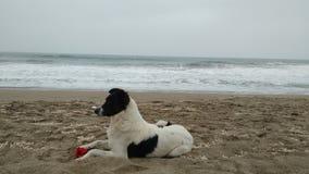 Собака с цветком на океане стоковые изображения rf