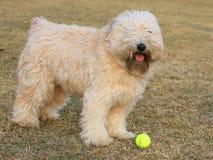 Собака с шариком стоковое изображение