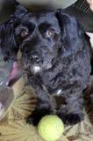 Собака с шариком Стоковая Фотография RF