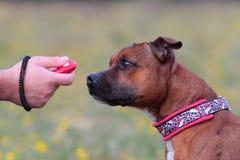 Собака с clicker Стоковые Фото