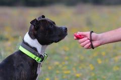 Собака с clicker Стоковое Фото