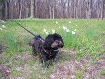 Собака с Daffodils стоковое фото rf