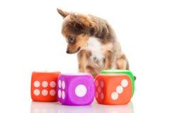 Собака с dices изолированный на белых игрушках предпосылки Стоковые Изображения