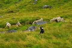 Собака табуня овец через травянистый горный склон Стоковые Изображения RF