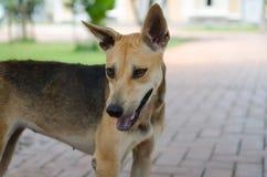 Собака Таиланд Стоковые Фотографии RF