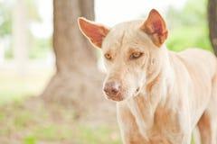 собака тайская Стоковое Изображение RF