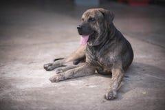 собака тайская Стоковое Изображение