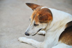 собака тайская Стоковое Фото