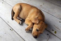 собака тайская стоковые фотографии rf