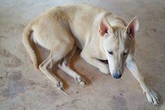 собака тайская Стоковые Изображения