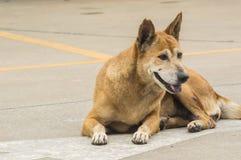 собака тайская Стоковое фото RF